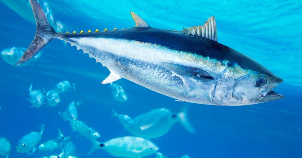 fish articles bluefin tuna - naval post- naval news and information